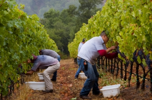 wine-harvest